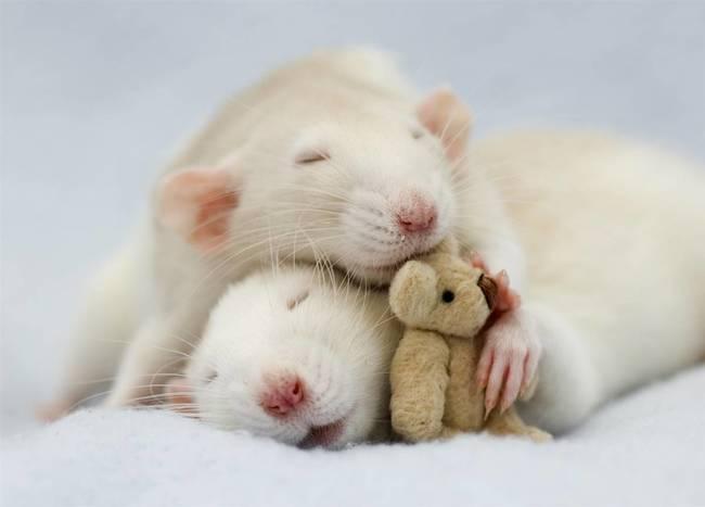 Rats Cuddling